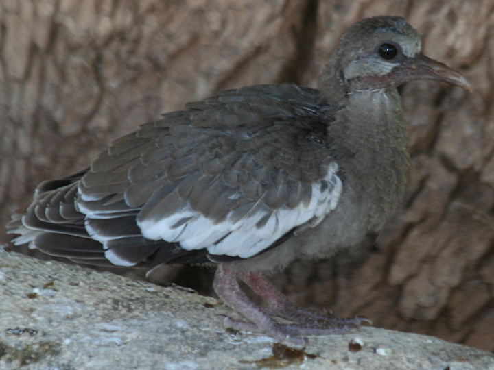 White-winged Dove WWDO