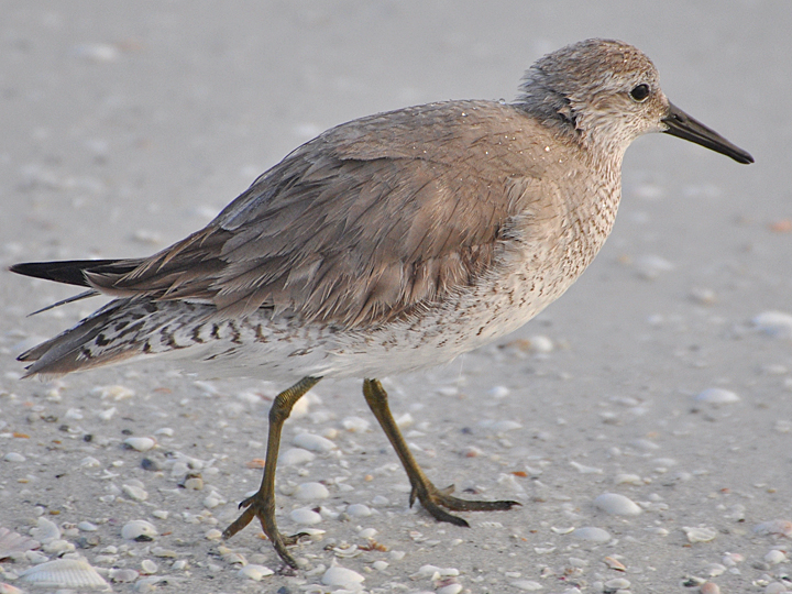 Red Knot REKN
