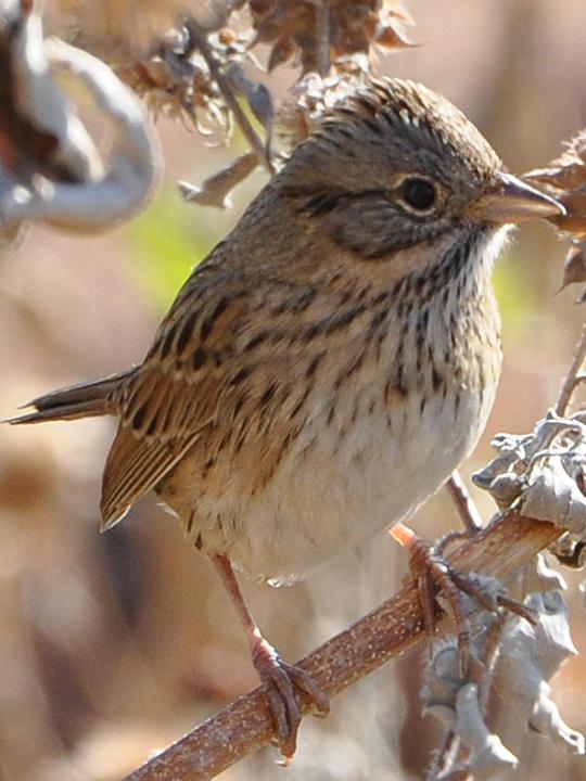 Lincoln's Sparrow LISP