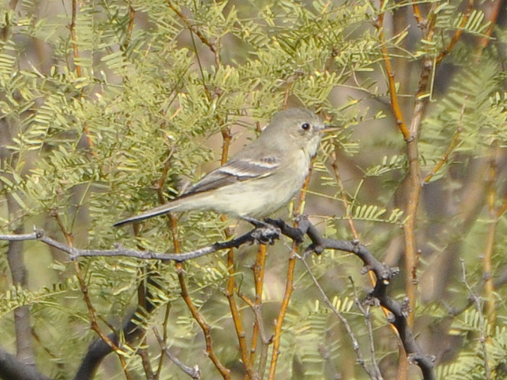 Gray Flycatcher GRFL