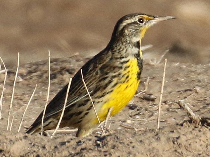 Western Meadowlark WEME