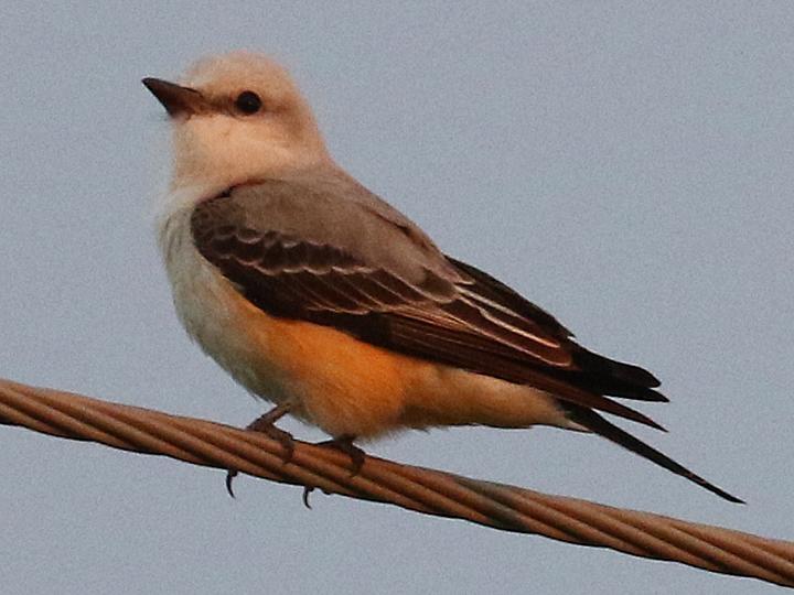 Scissor-tailed Flycatcher STFL