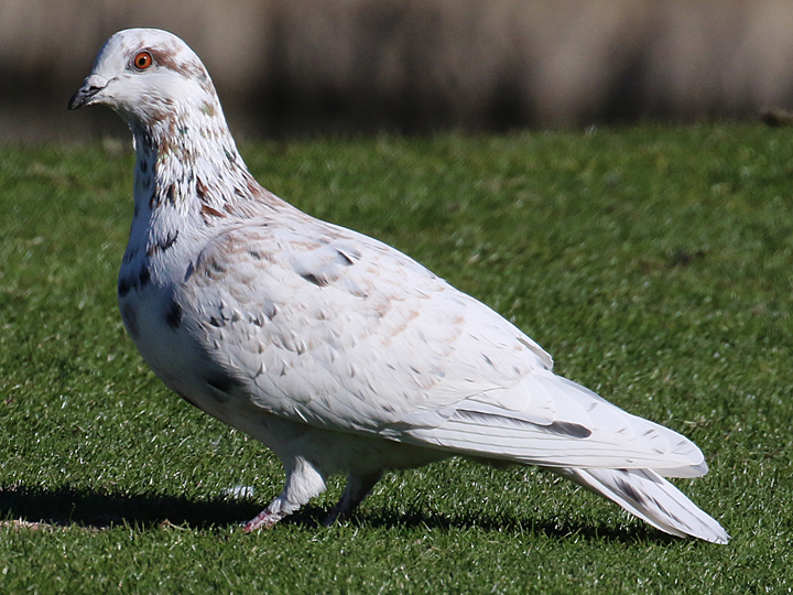 Rock Pigeon ROPI