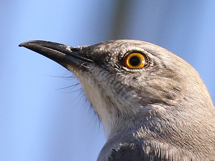 Northern Mockingbird NOMO