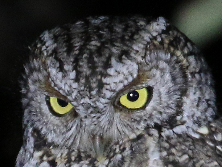 Whiskered Screech-Owl WHSO