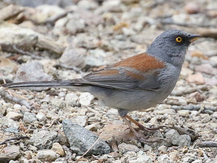 Yellow-eyed Junco YEJU