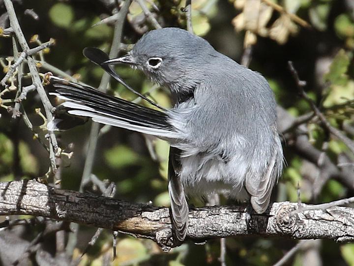 Black-capped Gnatcatcher BCGN