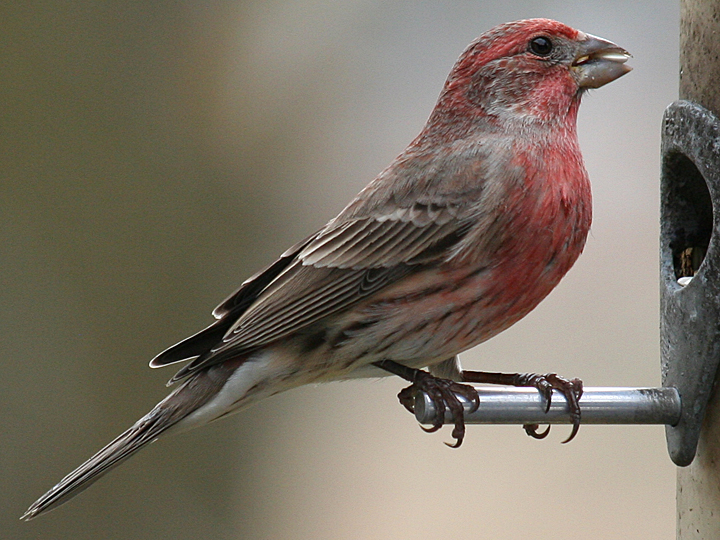 House Finch HOFI
