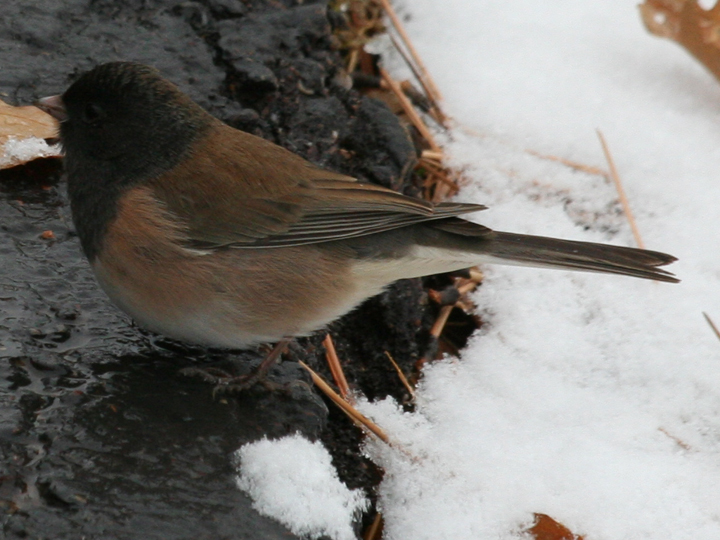 Dark-eyed Junco DEJU Oregon