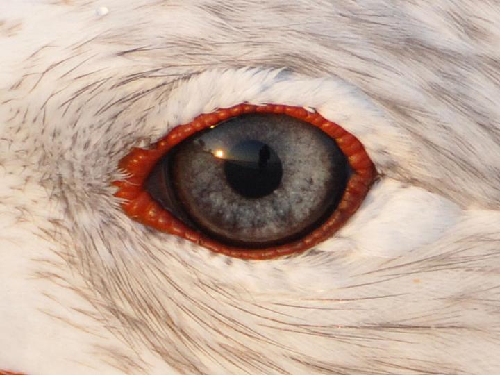 Ring-billed Gull RBGU