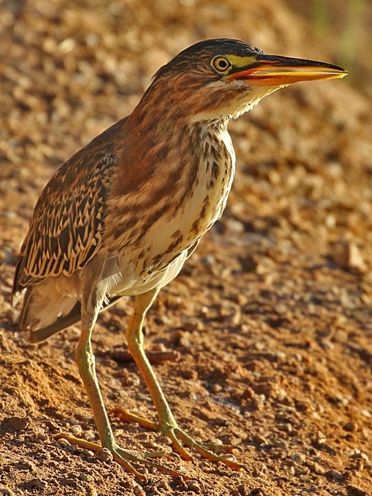 Green Heron GRHE