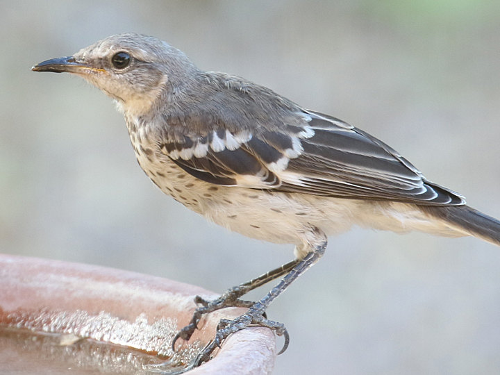 Northern Mockingbird juvenile