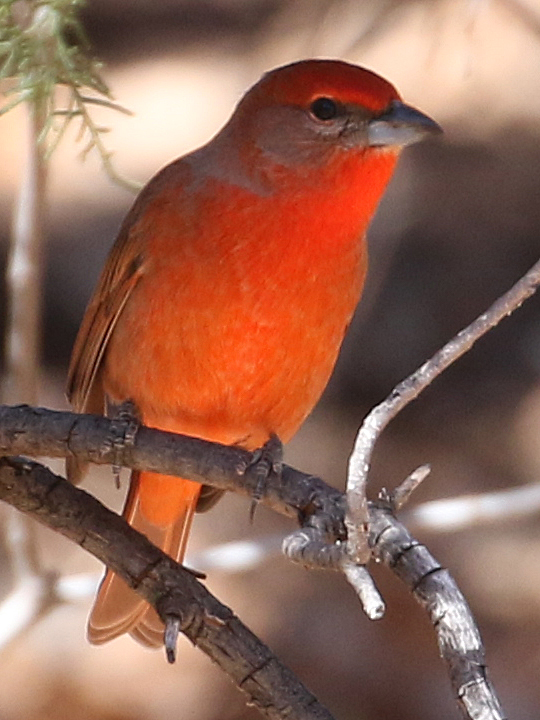 Hepatic Tanager HETA