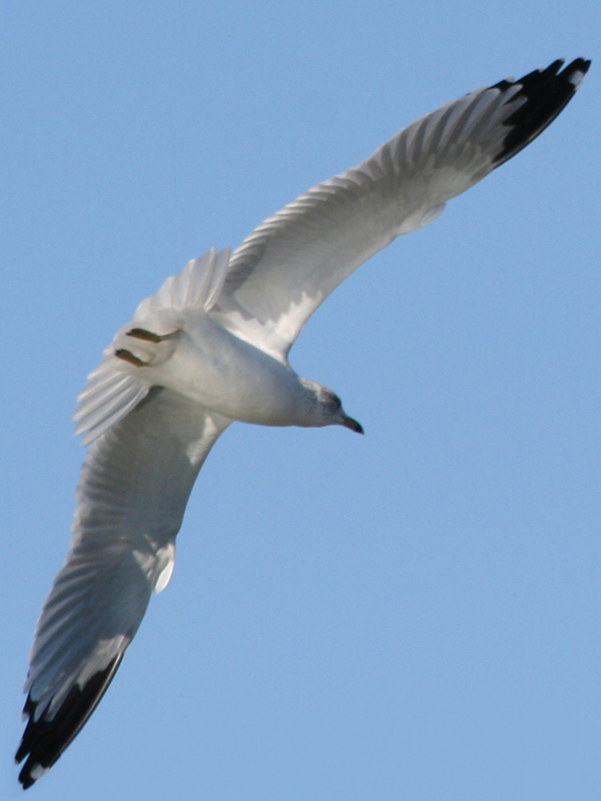 Ring-billed Gull RBGU