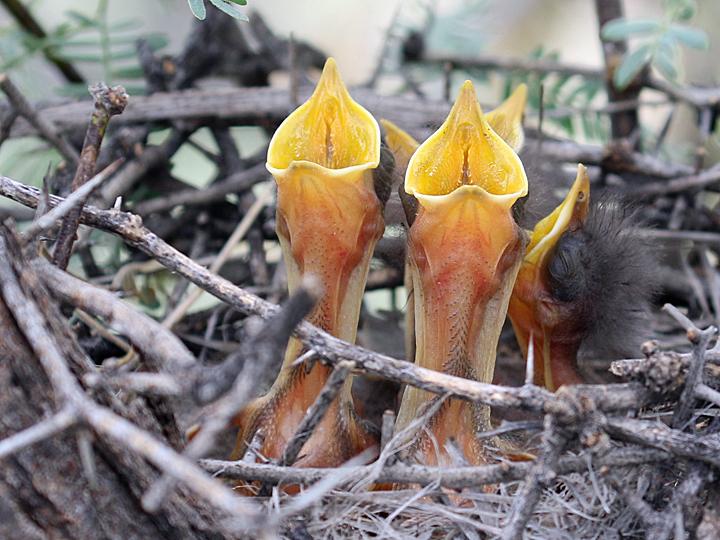 Northern Mockingbird NOMO