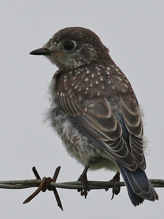 Western Bluebird WEBL
