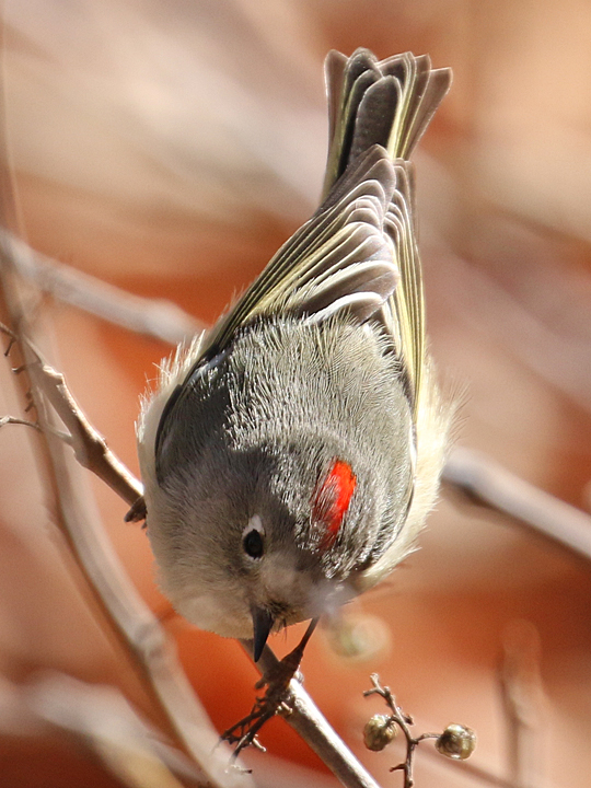 Ruby-crowned Kinglet RCKI