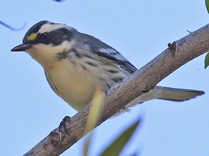 Black-throated Gray Warbler female