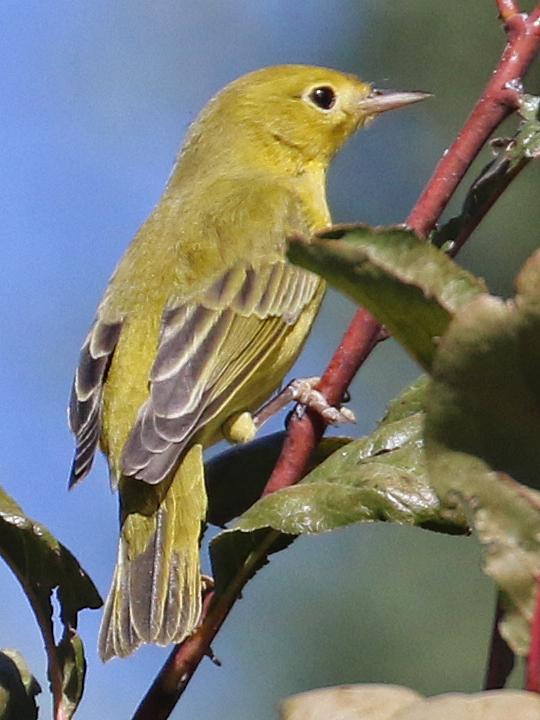 Yellow Warbler female