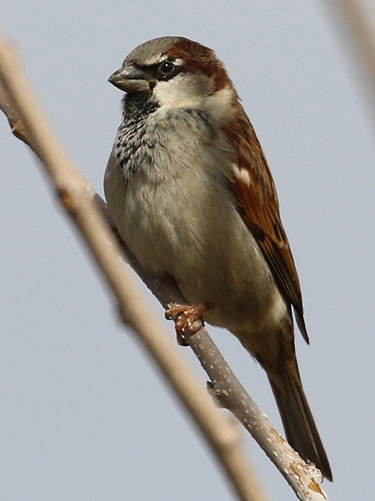 House Sparrow HOSP
