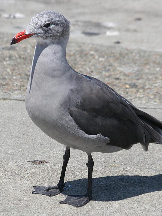 Heermann's Gull HEEG