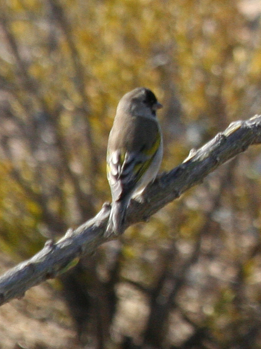 Lawrence's Goldfinch LAGO