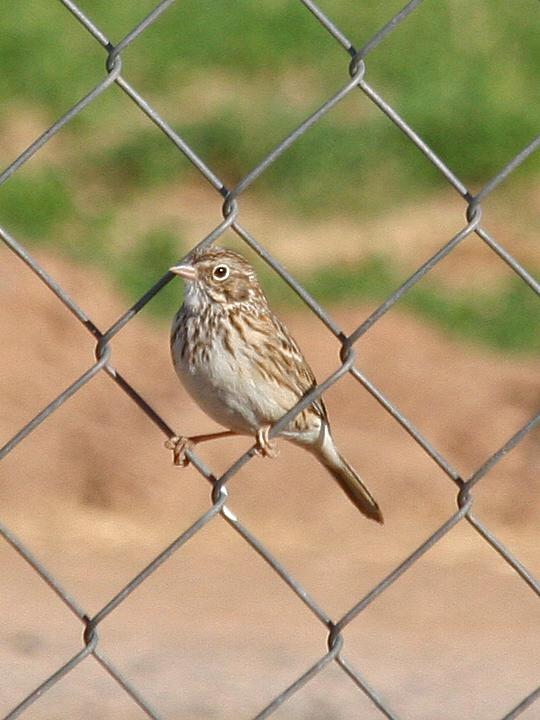 Vesper Sparrow VESP