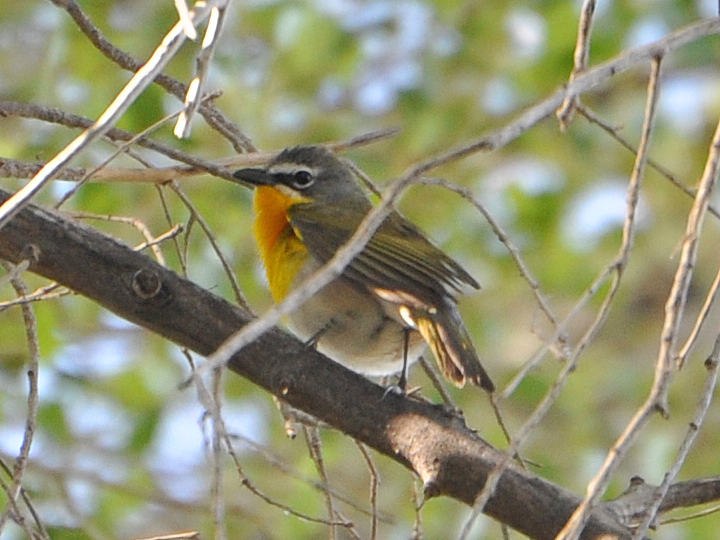Yellow-breasted Chat YBCH