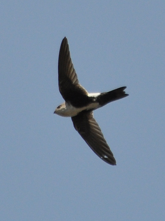 White-throated Swift BTSW