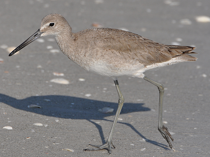 Willet WILL