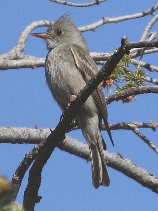 Greater Pewee GRPE