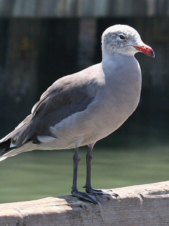 Heermann's Gull HEEG