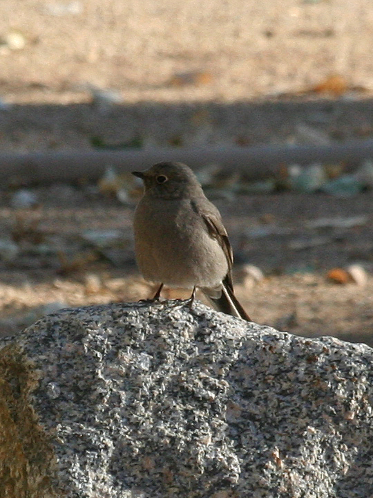 Townsend's Solitaire TOSO