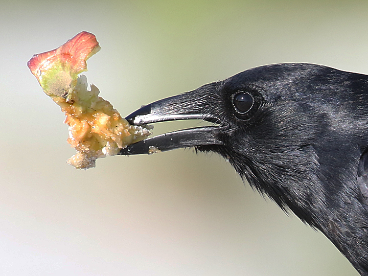 Fish Crow FICR