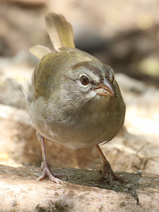 Olive Sparrow OLSP
