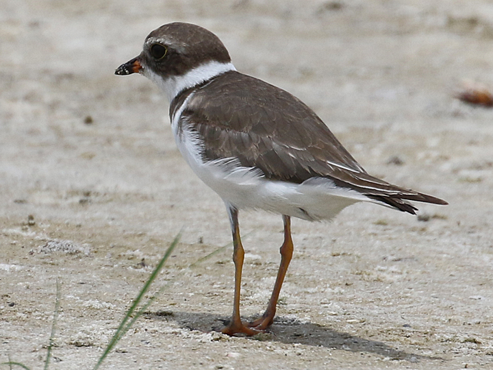 Semipalmated Plover SEPL