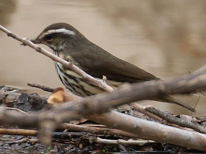 Louisiana Waterthrush LOWA