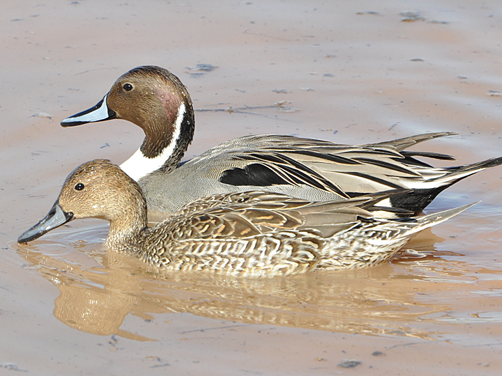 Northern Pintail NOPI