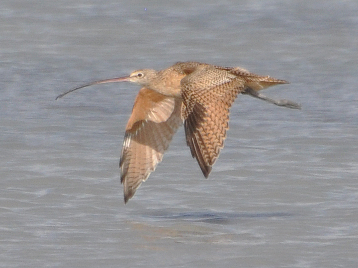 Long-billed Curlew LBCU