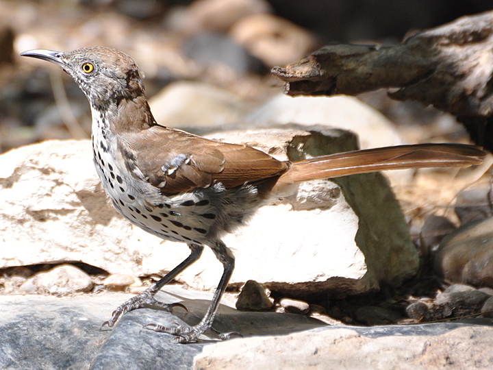 Long-billed Thrasher LBTH