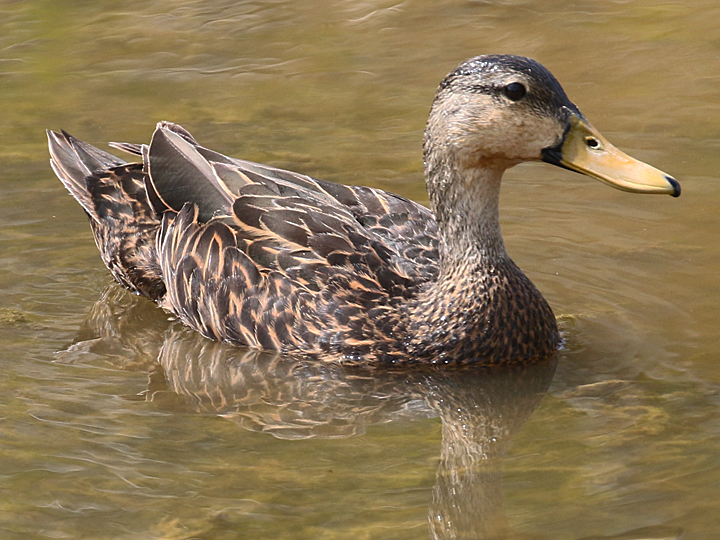 Mottled Duck MODU