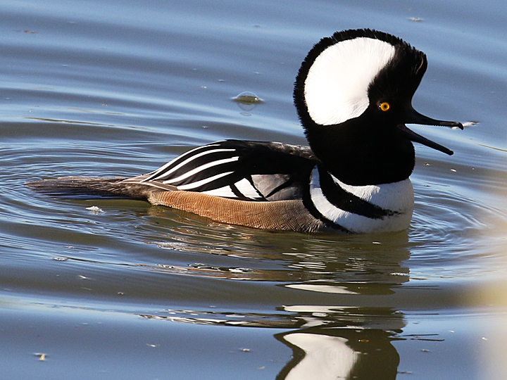 Hooded Merganser HOME