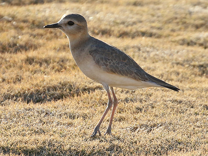 Mountain Plover MOPL