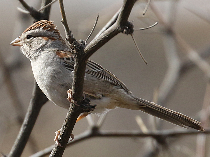 Rufous-winged Sparrow RWSP