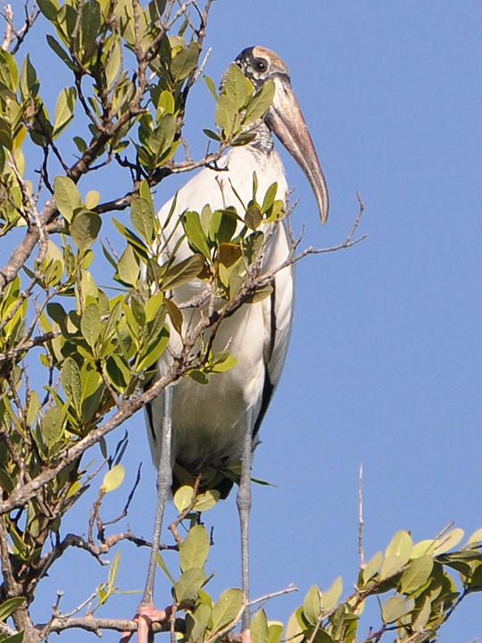 Wood Stork WOST