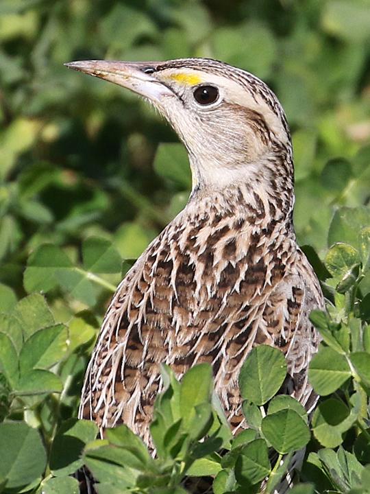 Eastern Meadowlark EAME
