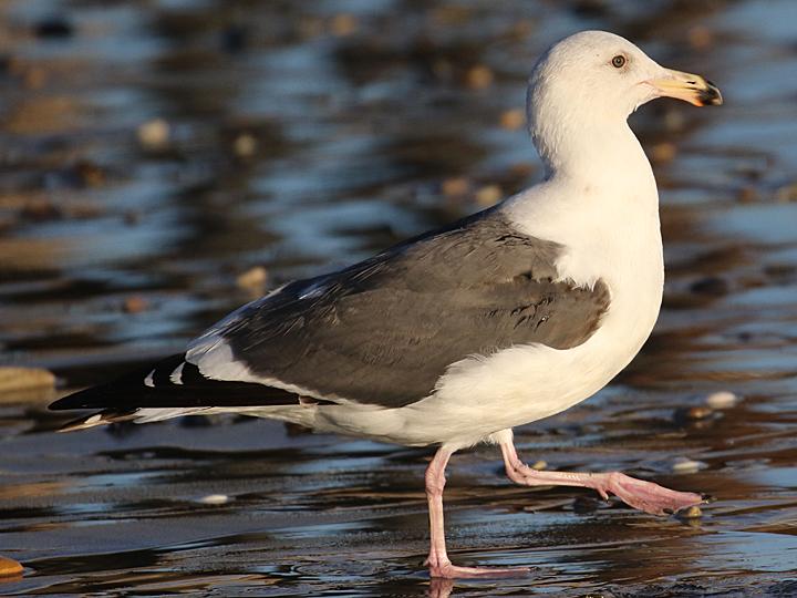 Western Gull WEGU