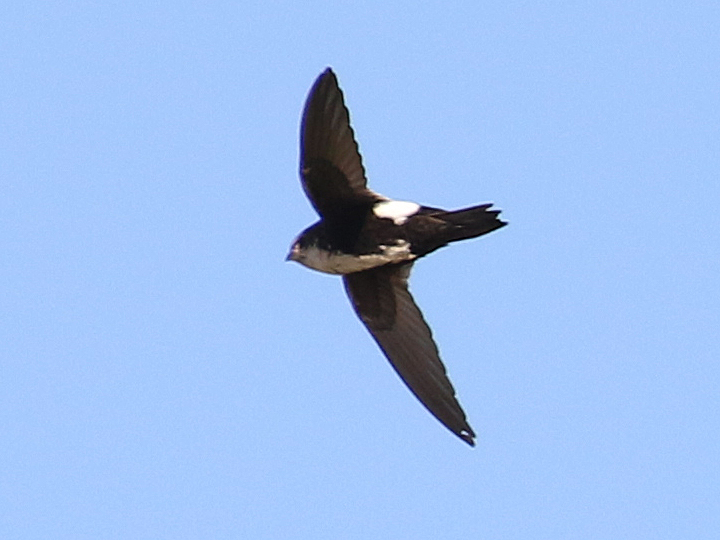 White-throated Swift WTSW