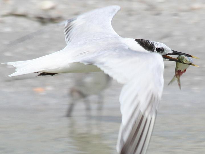 Sandwich Tern SATE