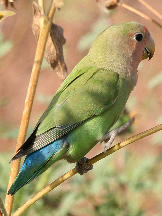 Rosy-faced Lovebird RFLO